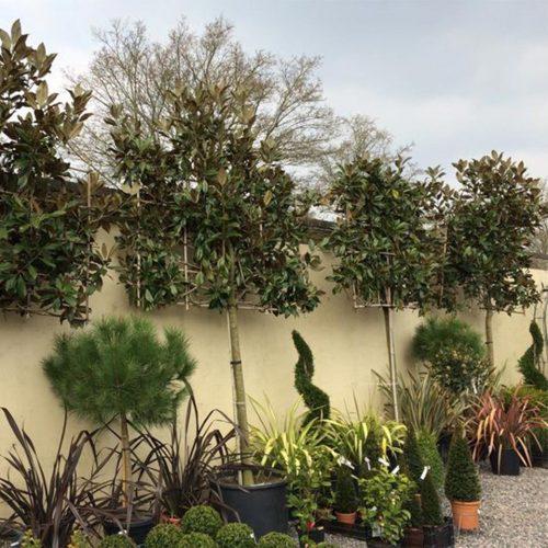 Magnolia Grandiflora (Evergreen Magnolia) - Standard Espalier