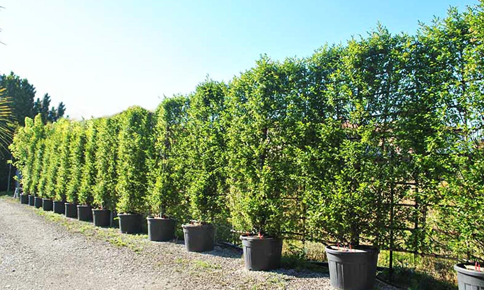 Carpinus Betulus (Common Hornbeam) - Espalier