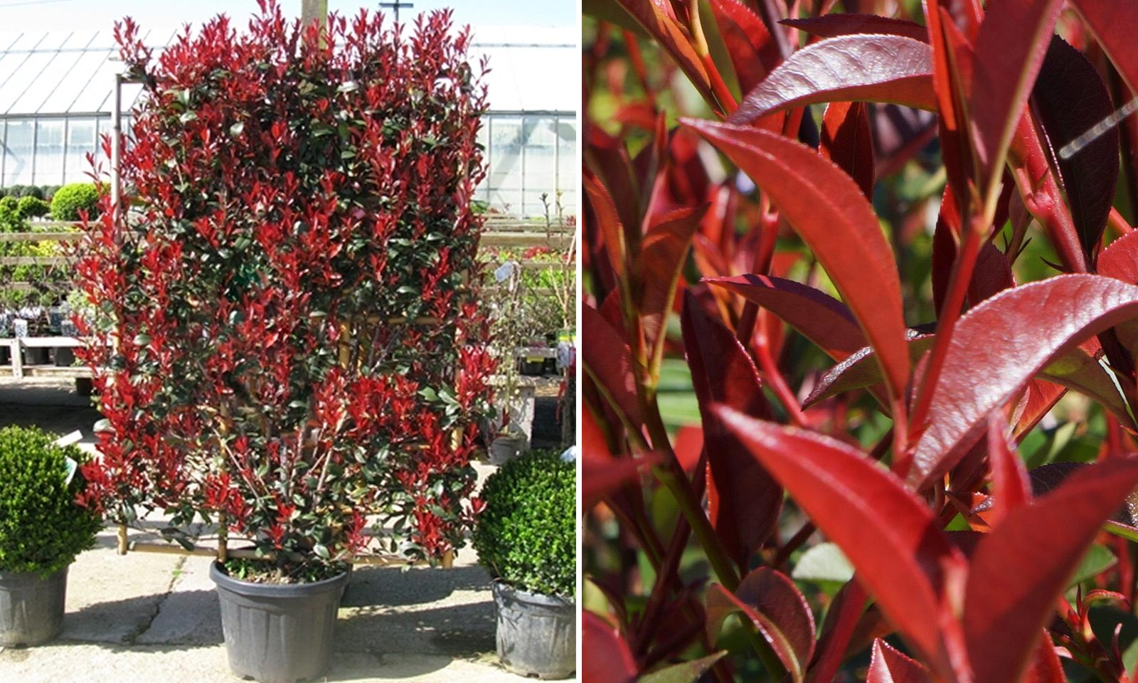 Photinia x Fraseri Red Robin - Espalier