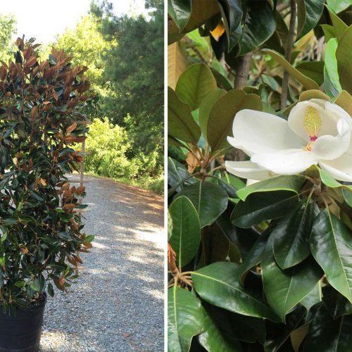 Magnolia Grandiflora (Evergreen Magnolia) - Espalier