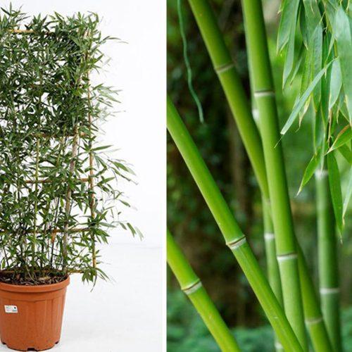 Bambusa Phyllostachys Bissetii (Bisset Bamboo) – Espalier