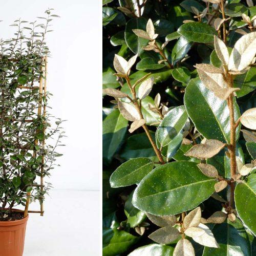 Elaeagnus x Ebbingei (Ebbinge's Silverberry / Elaeagnus x Submacrophylla) – Espalier