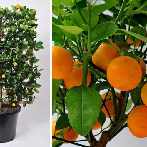 Citrus x Mitis (Calamondin Orange) – Espalier
