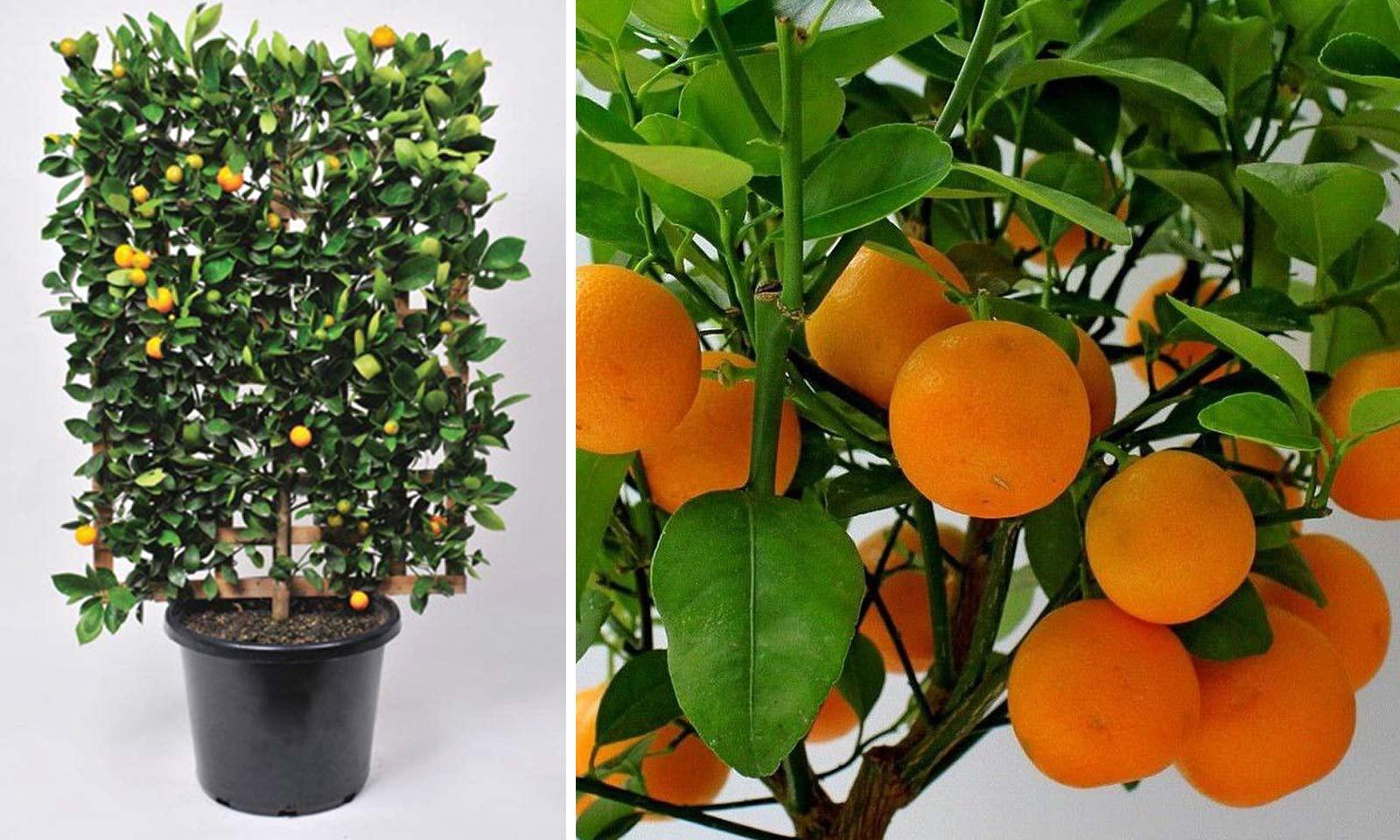 Citrus x Mitis (Calamondin Orange) – Espalier