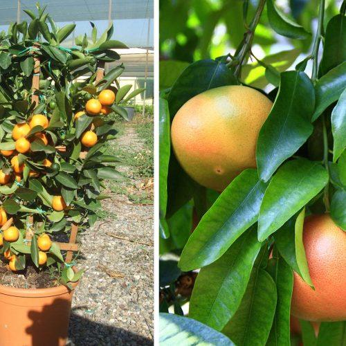 Citrus x Paradisi (Grapefruit) – Espalier