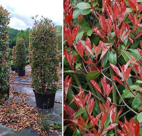 Photinia x Fraseri Red Robin - Cylinder