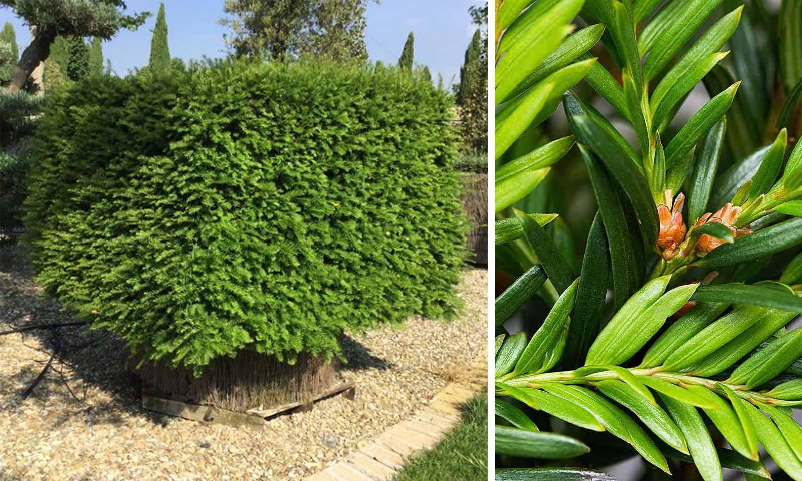 Taxus Baccata (English Yew) – Cube