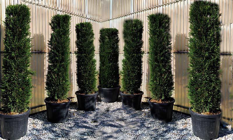 Cupressocyparis Leylandii (Green Cypress Hedge) - Cylinder