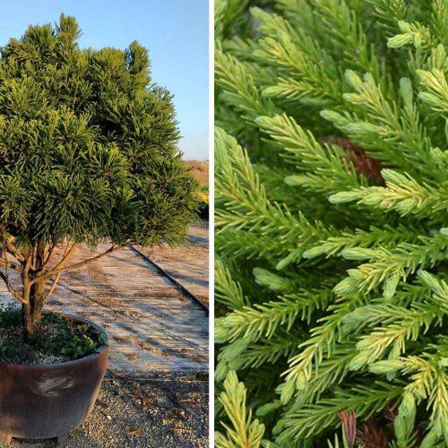 Cryptomeria Japonica Globosa Nana (Japanese Cedar) – Half Standard Multitrunk