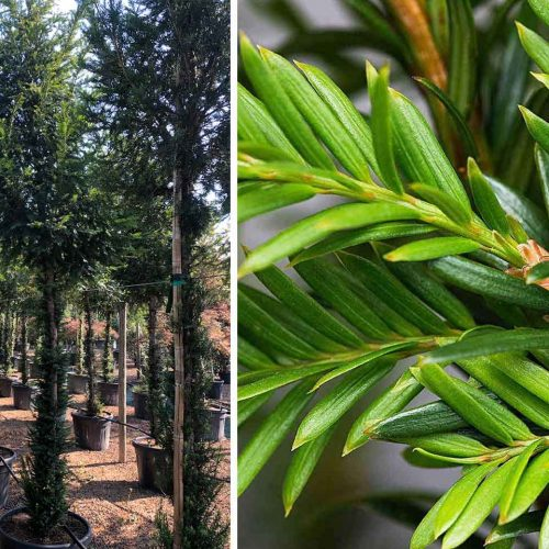 Taxus Baccata (English Yew) – Standard