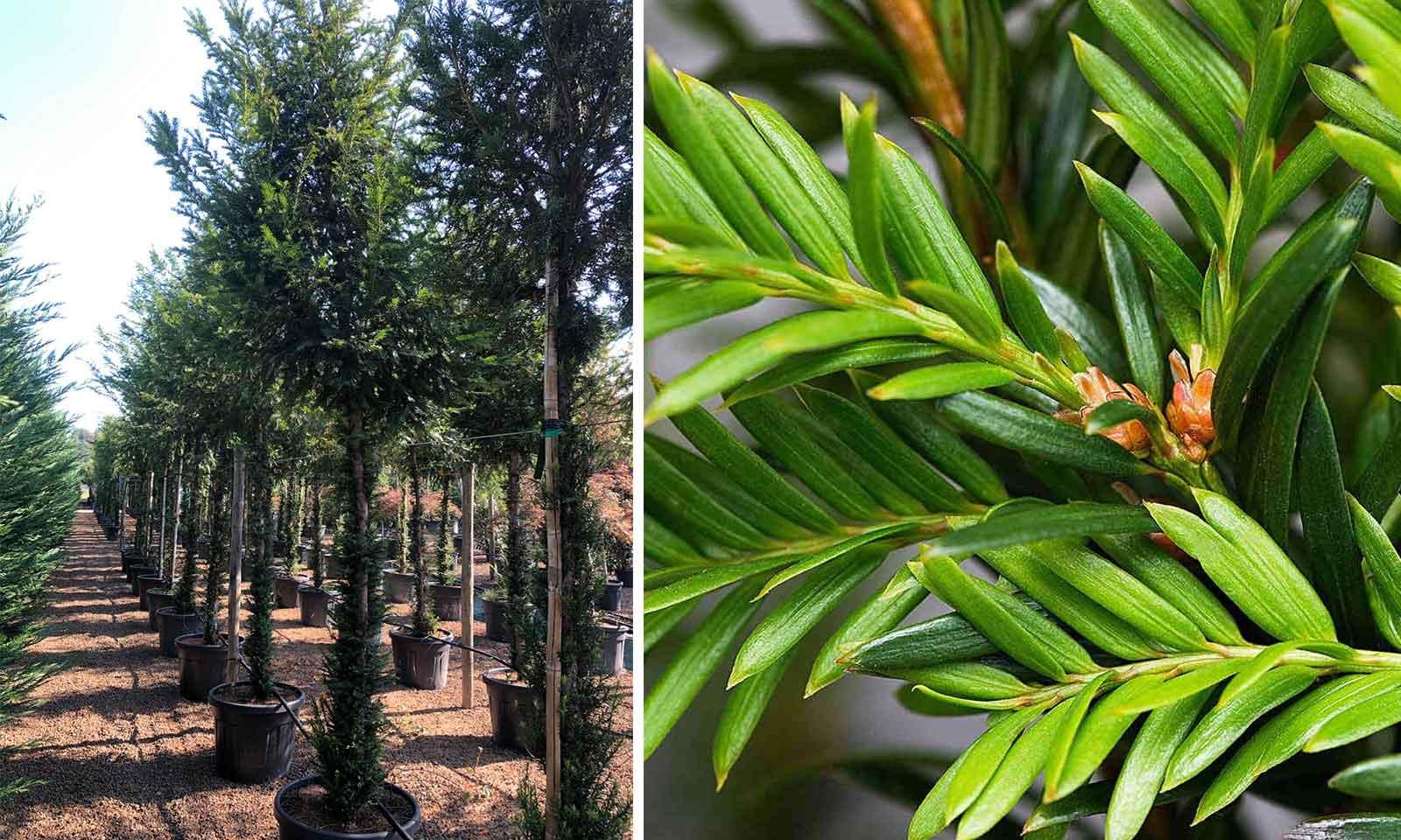 Taxus Baccata (English Yew) – Standard