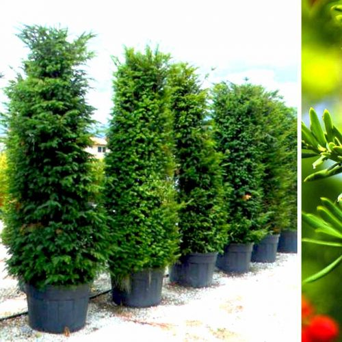 Taxus Baccata (English Yew) – Shrub