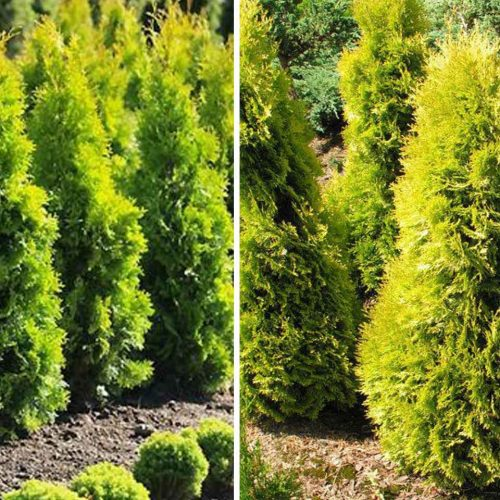 Thuja Occidentalis Jantar (Amber Gold Arborvitae)
