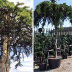 Cedrus Deodara Pendula (Weeping Deodar Cedar) – Roof Shape