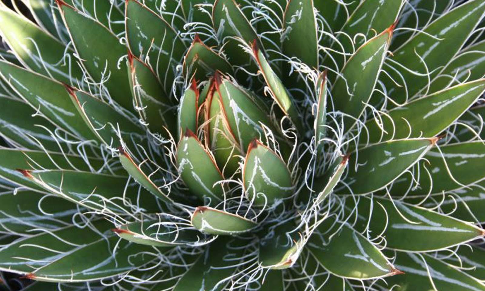 Agave Filifera (Thread-Leaf Agave)