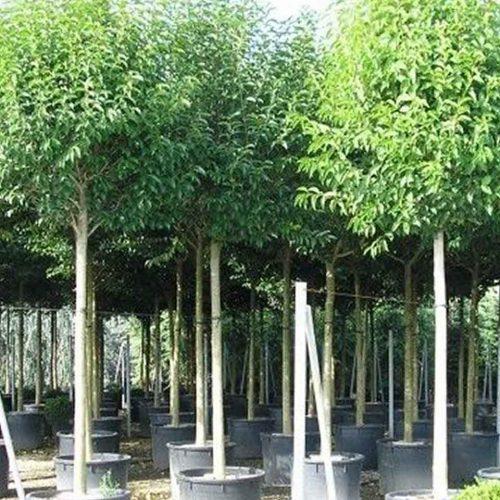 Ligustrum Japonicum (Japanese Privet) – Standard