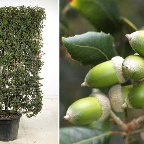 Quercus Ilex (Holm Oak / Evergreen Oak) - Espalier
