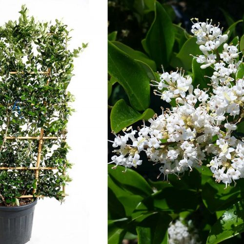 Ligustrum Japonicum 'Texanum' (Japanese Privet 'Texanum') - Espalier