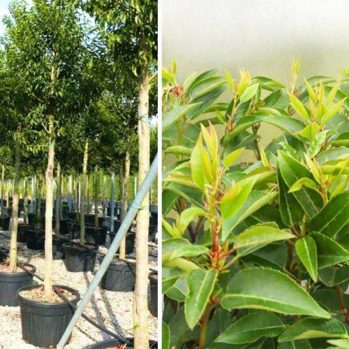 Prunus Lusitanica Angustifolia (Portuguese Laurel Cherry) - Standard