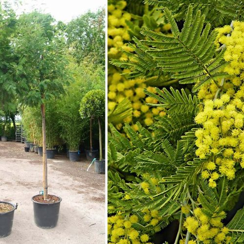 Acacia Dealbata (Mimosa Tree) - Standard