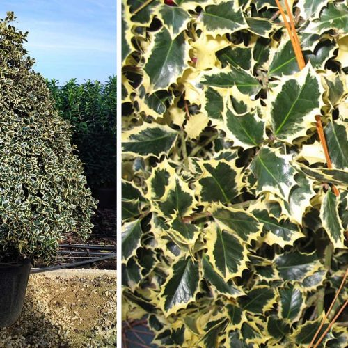 Ilex Aquifolium 'Argenteomarginata' (Variegated English Holly) – Extra