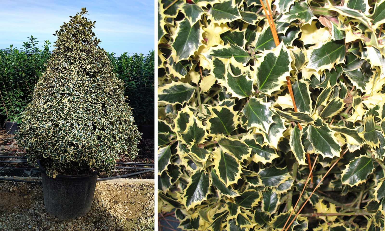Ilex Aquifolium 'Argenteomarginata' (Variegated English Holly) – Extra