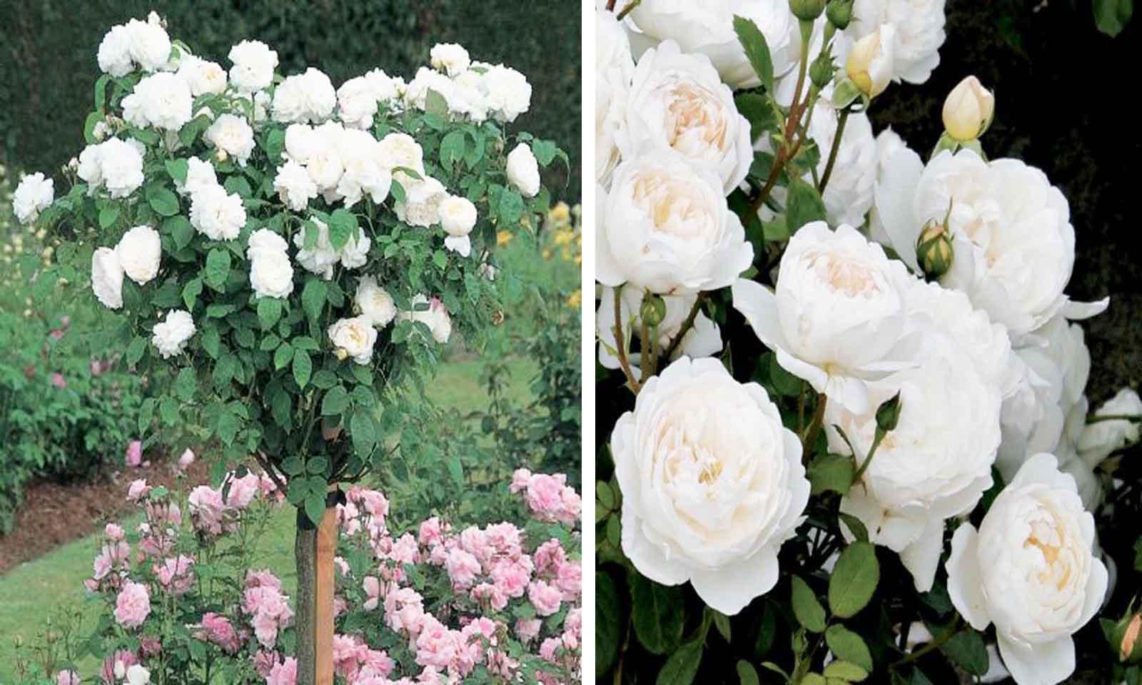 White Roses – Half Standard