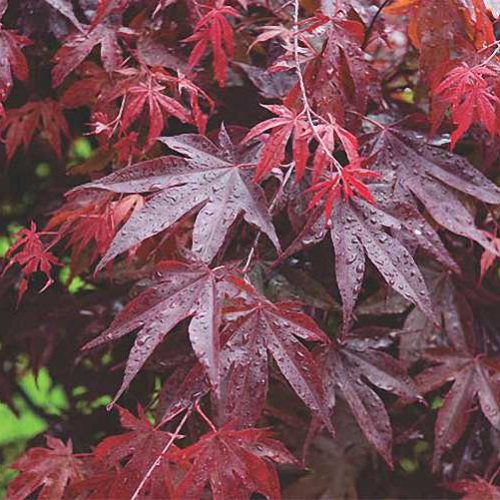 Acer Palmatum 'Bloodgood' (Japanese Maple 'Bloodgood') – Shrub