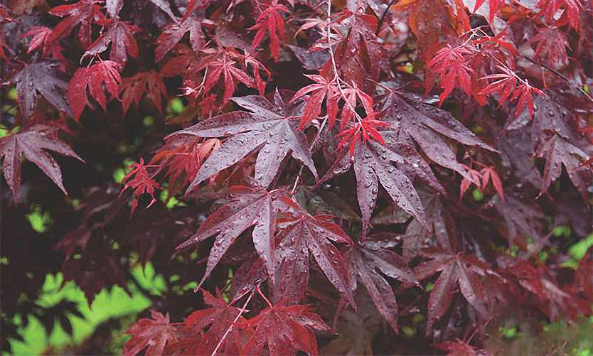 Acer Palmatum 'Bloodgood' (Japanese Maple 'Bloodgood') - Shrub
