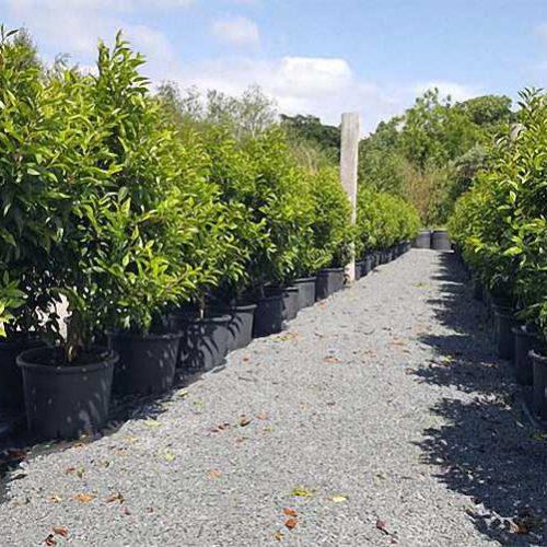 Prunus Lusitanica (Portugal Laurel / Cherry Bay / Portuguese Laurel Cherry) - Shrub