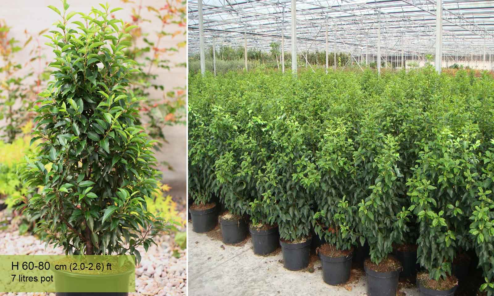 Prunus Lusitanica - Shrub