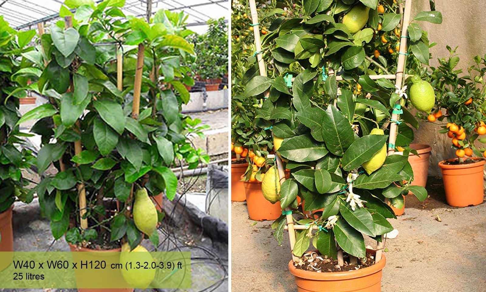 Citrus Limonum (Lemon Trees) – Espalier