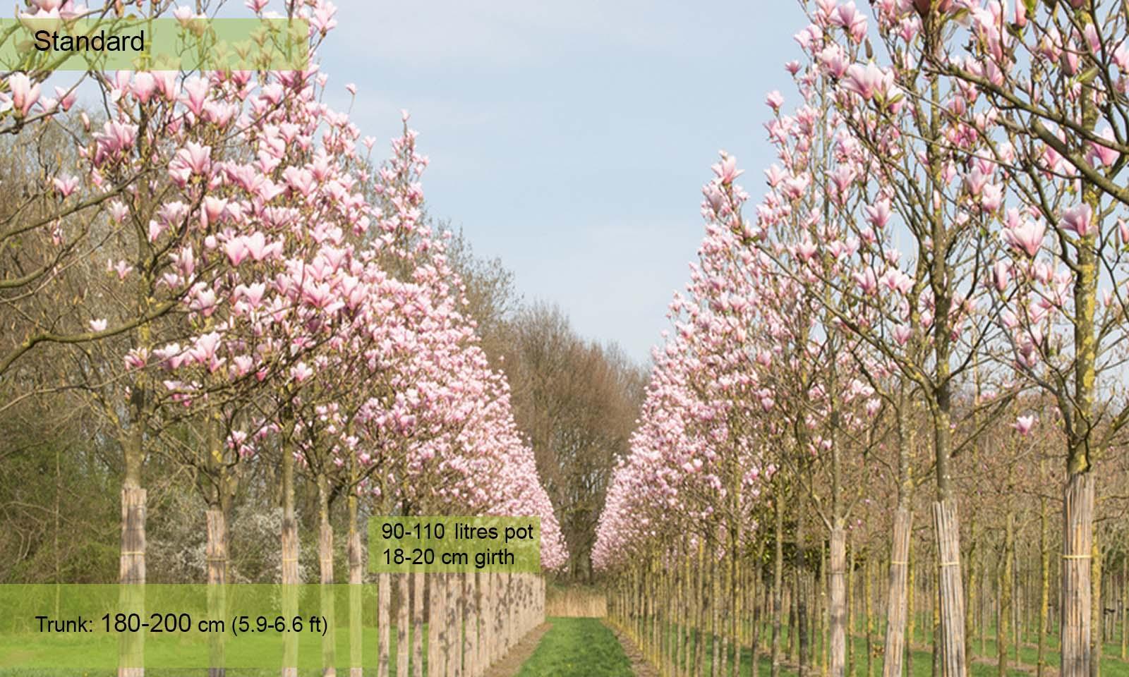 Magnolia Galaxy – Standard