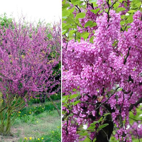 Cercis Siliquastrum (Judas Tree) – Multi-Stem