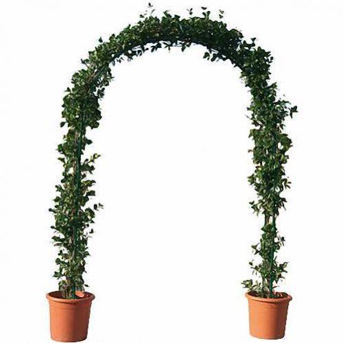 Carpinus Betulus - Arch