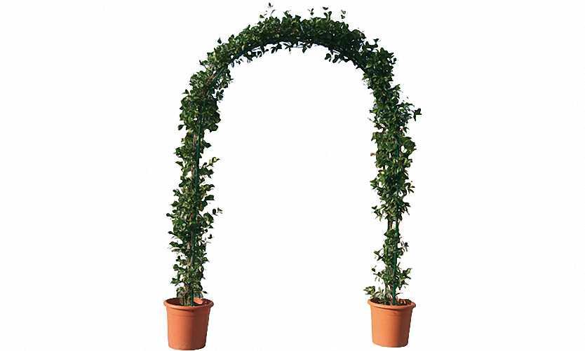 Carpinus Betulus (Common Hornbeam) - Arch