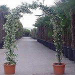 Rhyncospermum Jasminoides / Trachelospermum Jasminoides (Star Jasmine) – Arch