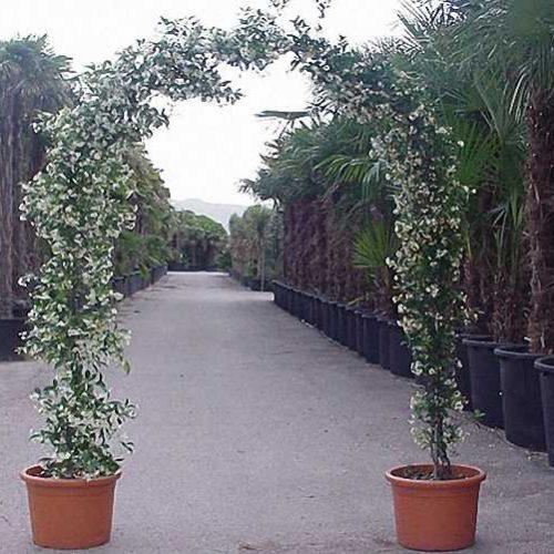 Rhyncospermum Jasminoides - Arch