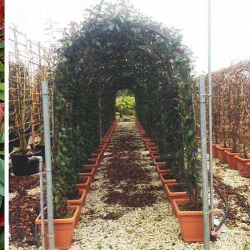 Photinia x FraserI Red Robin – Arch