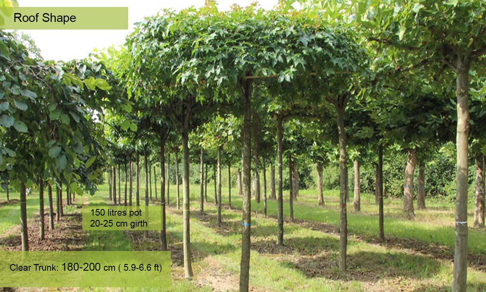 Liquidambar Styraciflua Sweet Gum Tree Roof Shape