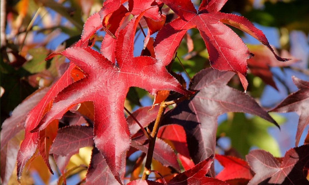 Liquidambar Styraciflua (Sweet Gum Tree) - Roof Shape