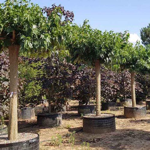 Morus Platanifolia Fruitless (Fruitless Mulberry) - Roof Shape