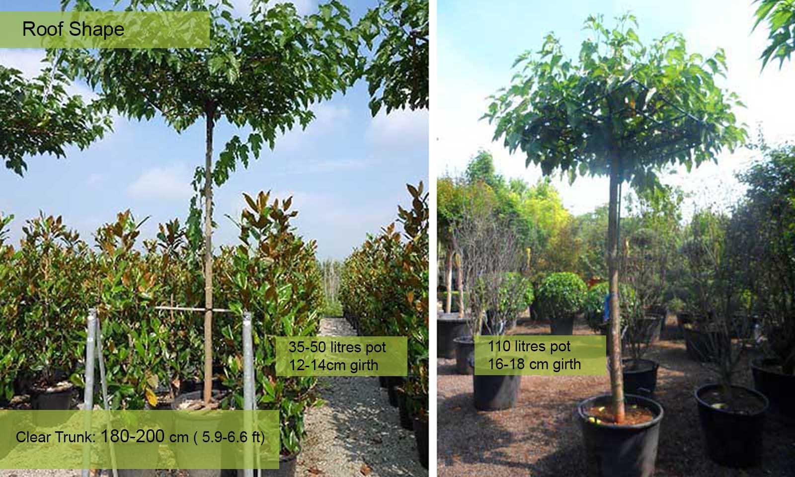 Morus Platanifolia Fruitless - Roof Shape