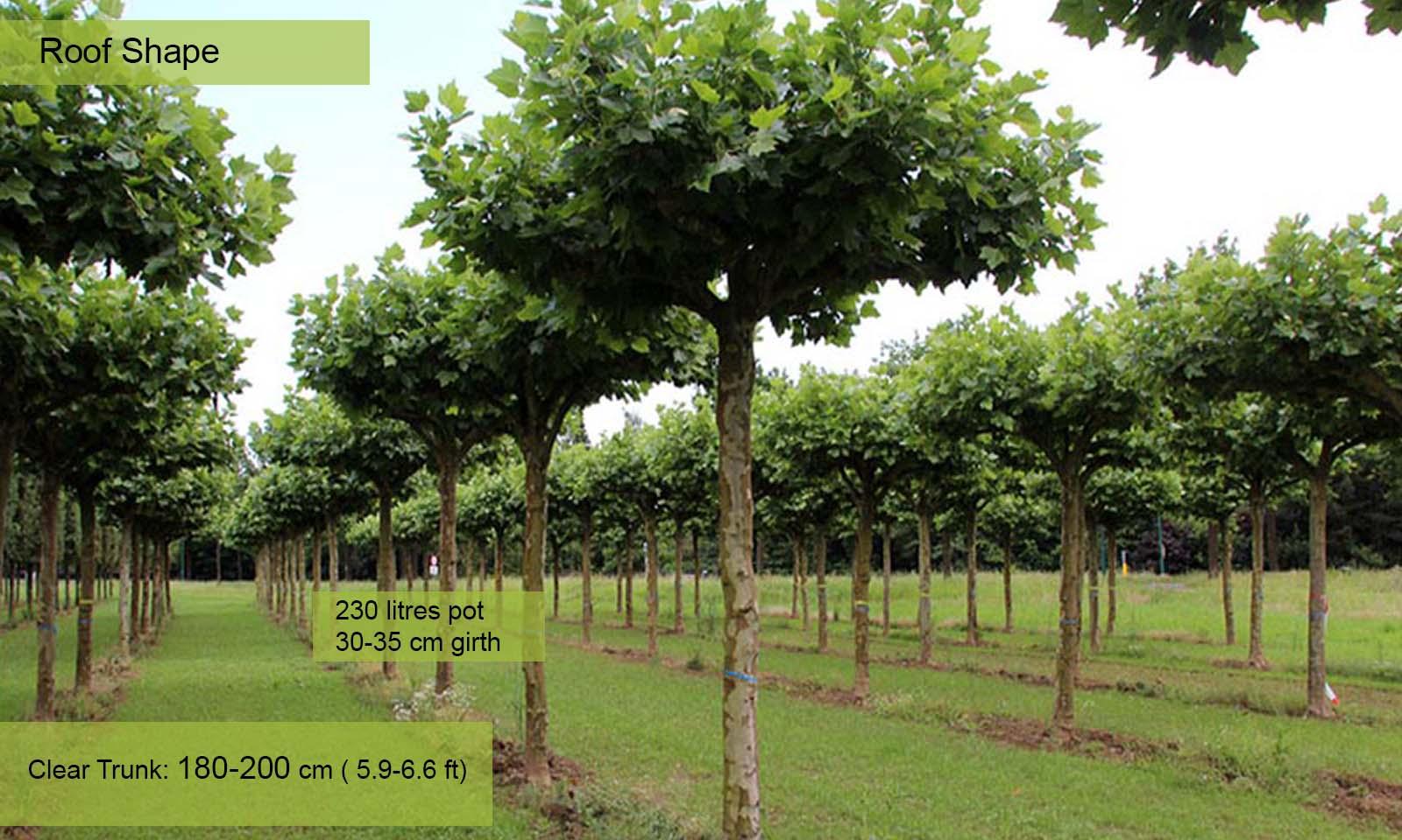 Platanus x Acerifolia (London Plane / London Planetree ) - Roof Shape