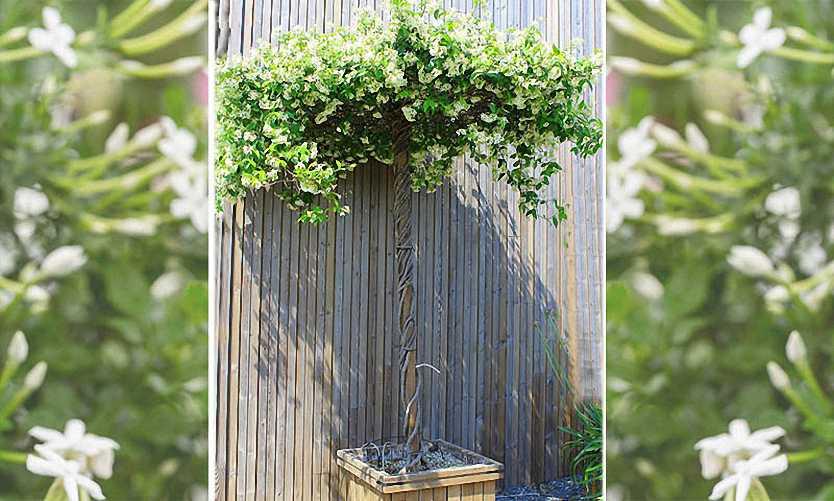Rhyncospermum Jasminoides / Trachelospermum Jasminoides (Star Jasmine) – Roof Shape