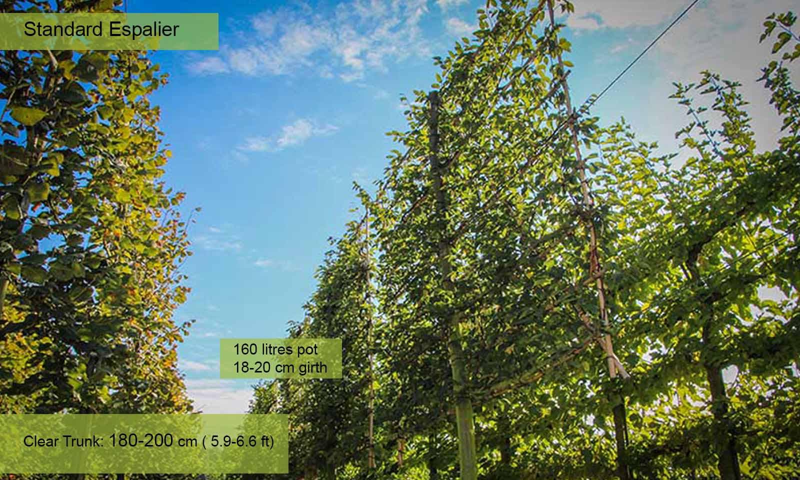Carpinus Betulus - Standard Espalier