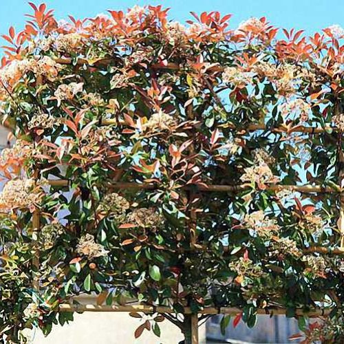 Photinia x Fraseri Red Robin (Christmas Berry Red Robin) - Standard Espalier