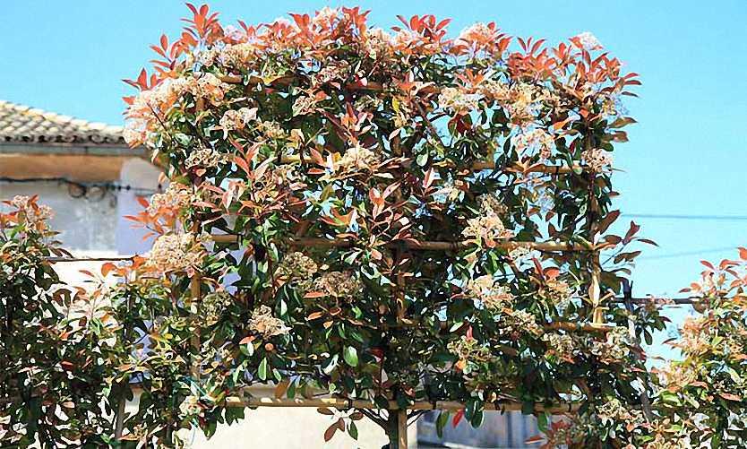 Photinia x Fraseri Red Robin (Christmas Berry Red Robin) - Standard Espalier