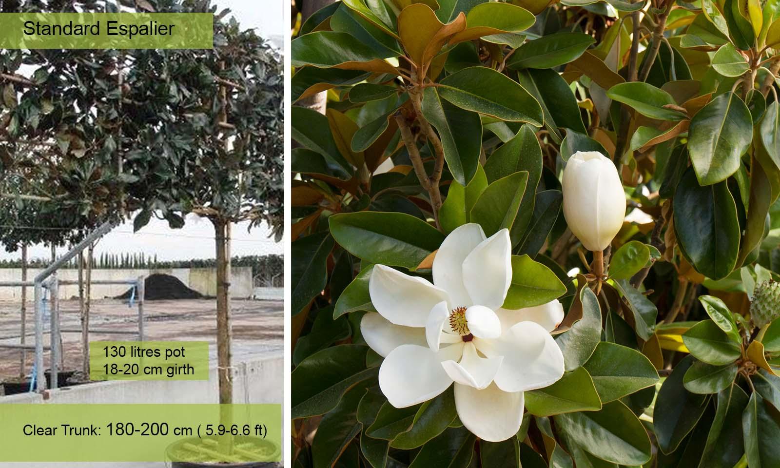 Magnolia Grandiflora - Standard Espalier