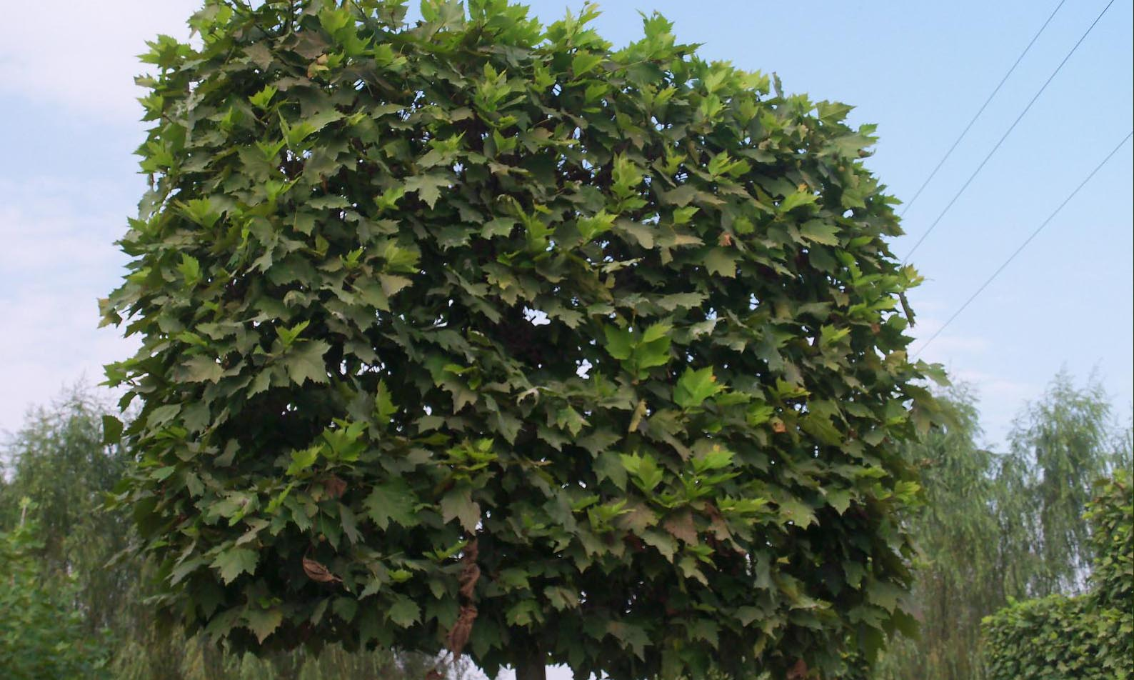 Platanus x Acerifolia (London Plane / London Planetree) - Standard Espalier